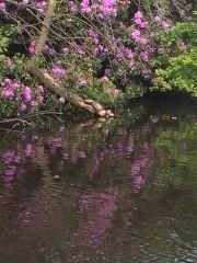 Turtles Sunbathing Rugeley Pond4