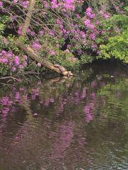 Turtles Sunbathing Rugeley Pond3