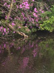 Turtles Sunbathing Rugeley Pond2