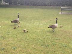 Baby Chicks Rugeley 2