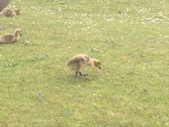 Baby Chicks  Rugeley 3