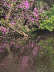 Turtles Sunbathing Rugeley Pond